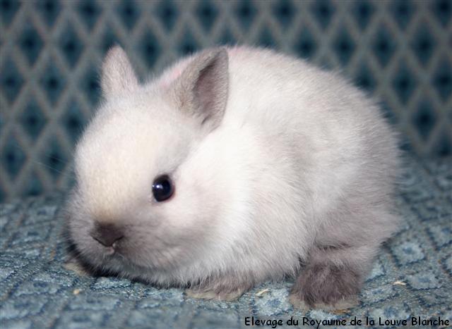 Le d veloppement des lapereaux du lapin nain - Photo de lapin a imprimer ...