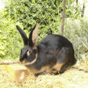 photo lapin nain